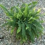 Felce pianta carmofite