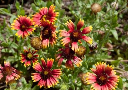 Gaillardia,Asteraceae