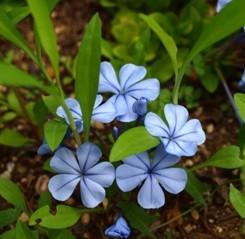 Gelsomino Azzurro foglie ovali