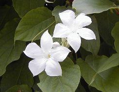 Gelsomino del Cile fiore forma a trombetta
