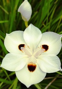 fiori bicolore