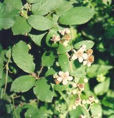 Ginepro foglie forma acuiforme