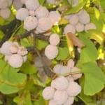 Ginkgo biloba fiori macrosporofilli