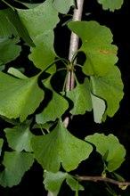 Ginkgo biloba foglie bilobate