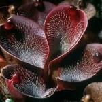 Heliamphora pianta perenne
