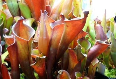 Sarraceniaceae