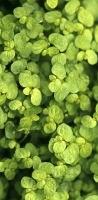 foglie verde lucente