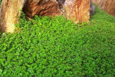 Helxine  Soleirolia soleirolii