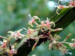 Hoffmannia fiori piccoli