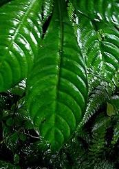 Hoffmannia foglie rugose