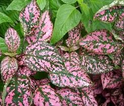 Hypoestes foglie lanceolate