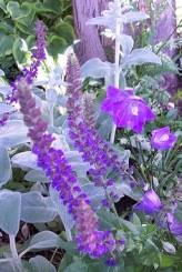 Issopo fiore spiga apicale