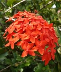 Ixora fiori