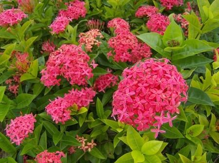 Ixora Rubinaceae