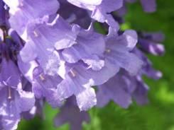 Jacaranda fiore forma tubolare