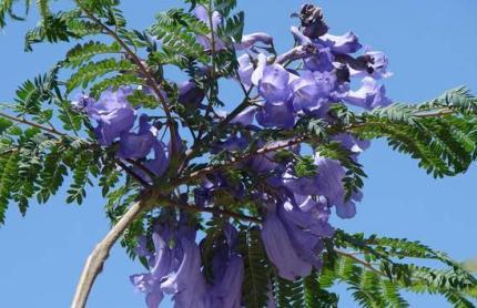 Jacaranda Acutifolia