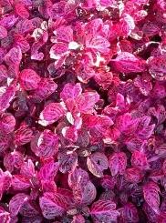 La Sanguinaria foglie rosso sangue