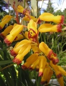 fiori tubuliformi