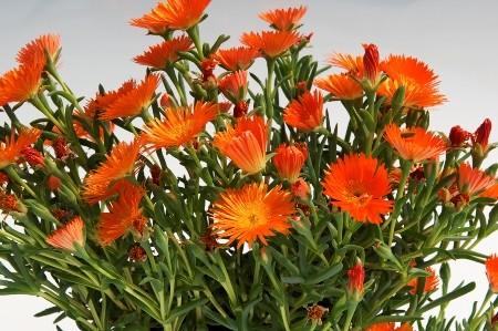 Piante grasse nomi foto e fiori for Nomi fiori bianchi e gialli