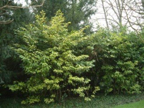 Lauroceraso-Rosaceae
