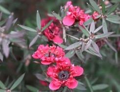 Leptospermum fiore forma calice