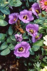 Lisianthus fiore campanulati