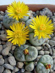 Lithops fiori grandi