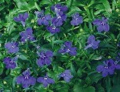 Lobelia fiori tubolari