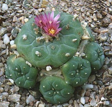 Lophophora,. Cactaceae