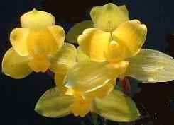 Lycaste fiori profumati