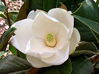 Magnolia fiore profumato