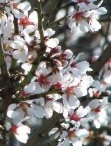 Mandorlo fiori ermafroditi