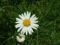 Margherita fiore tubolare
