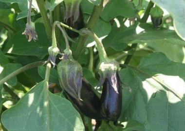 Solanum melogena