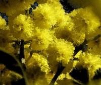 Mimosa fiore profumato
