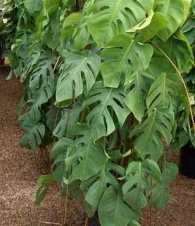 Monstera Araceae