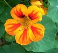 Nastruzio fiore