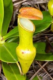 Nepenthes ascidi