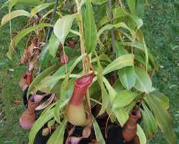 Nepenthes pianta epifite