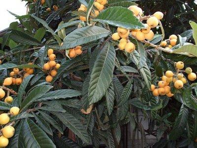 Nespolo, Rosaceae