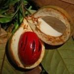 Noce Moscata frutto succoso