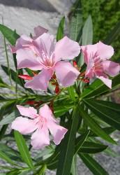 Oleandro fiori