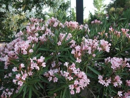 Oleandro,Nerium Oleander