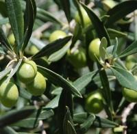 Olivo foglie lanceolate