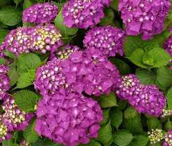 Ortensia fiore infiorescenza a pannocchia