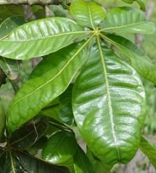 Pachira foglie palmate