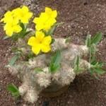 Pachypodium fiori a imbuto