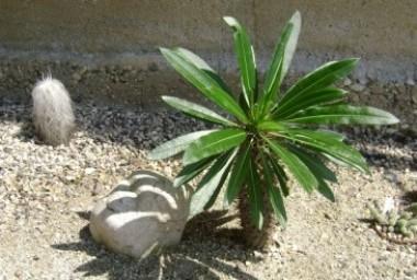 Apocynaceae