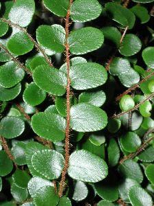 foglie tondeggianti