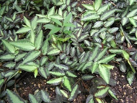 Pellionia, Urticaceae